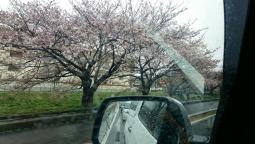たまに咲いてる桜